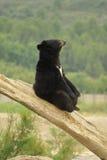 Asiatischer schwarzer Bär Stockbilder