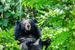 Asiatischer schwarzer Bär Stockbild