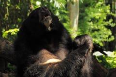 Asiatischer schwarzer Bär Stockfotografie