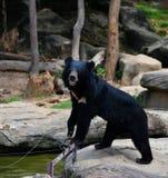 Asiatischer schwarzer Bär Lizenzfreies Stockbild