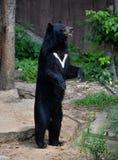 Asiatischer schwarzer Bär Stockfotos