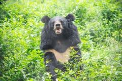 Asiatischer schwarzer Bär lizenzfreie stockbilder