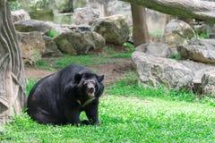 Asiatischer schwarzer Bär Lizenzfreies Stockfoto