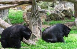 Asiatischer schwarzer Bär Lizenzfreie Stockfotografie