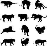 Asiatischer Tiger und Jaguar Stockbild
