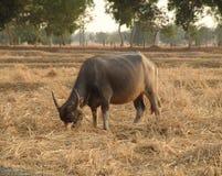 Asiatischer Wasserbüffel Stockfotografie