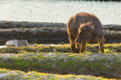 Asiatischer Wasserbüffel auf Reisfeldern von Terrassen Stockbild