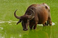 Asiatischer Wasserbüffel, Bubalus bubalis, im grünen Wasserteich Szene der wild lebenden Tiere, Sommertag mit Fluss Großes Tier i lizenzfreie stockfotos