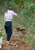 Asiatischer weiblicher Landwirt, der Manioka auf dem Feld erntet Stockfoto