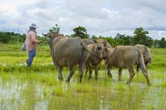 Asiatischer weiblicher Landwirt, der um Wasserbüffeln sich kümmert Stockfotos
