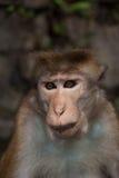 Asiatischer wilder Affe, Sri Lanka Lizenzfreies Stockfoto