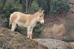 Asiatischer wilder Esel Lizenzfreie Stockfotos