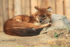 Asiatischer wilder Hund Lizenzfreie Stockfotos
