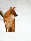Asiatischer wilder Hund im Schnee lizenzfreies stockbild