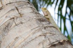 Asiatisches Chamäleon der Nahaufnahme auf dem Stumpf, der Kamera schaut stockfoto