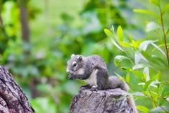 Asiatisches graues Eichhörnchen, das eine Nuss auf die Oberseite des Baumstammes in isst Lizenzfreie Stockbilder