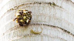Asiatisches Haus-Gecko hemidactylus, das versucht, zu einem Bündel der Wespe um sein Nest zu kämpfen hängt vom Baum lizenzfreie stockfotografie