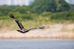 Asiatisches Kaiser-Eagle-Fliegen Lizenzfreie Stockfotografie