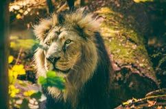 Asiatisches Löwe Panthera-Löwe-persica lizenzfreies stockfoto