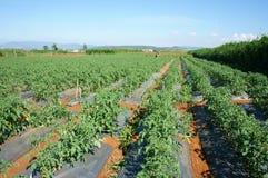 Asiatisches landwirtschaftliches Feld, Tomatenbauernhof Stockfotografie