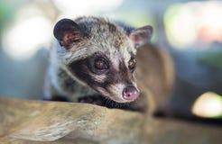 Asiatisches Palmen-Zibet produziert Kopi-luwak Stockfotos