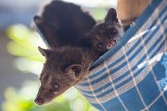 Asiatisches Palmen-Zibet produziert Kopi-luwak Stockfotografie