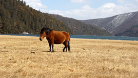 Asiatisches Pferd Lizenzfreie Stockfotos