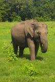 Asiatisches wildes minneriya Eliphant - Sri Lankas Nationalpark lizenzfreie stockbilder