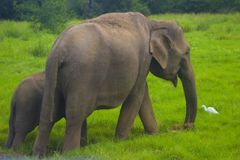 Asiatisches wildes minneriya Eliphant - Sri Lankas Nationalpark stockfotografie