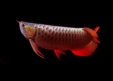 Arowana fisk på svart bakgrund Royaltyfri Fotografi