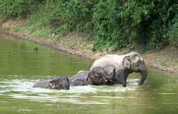 asiatisk badningelefantfamilj Arkivfoton