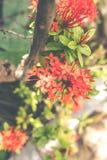 asiatisk bakgrundsblomma Bali ö Fotografering för Bildbyråer