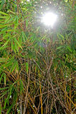 Asiatisk bambuskog royaltyfri foto