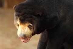 asiatisk björnblack Arkivfoto