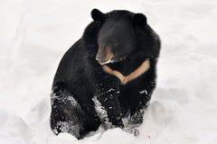 asiatisk björn Arkivfoton