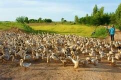 Asiatisk bonde, flock av anden, vietnamesisk by Royaltyfri Foto