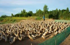Asiatisk bonde, flock av anden, vietnamesisk by Royaltyfri Fotografi