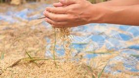 Asiatisk bonde Woman Holding Handful av organiska ris på skörden på Paddy Field bali indonesia 4K som är slowmotion lager videofilmer