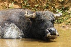 asiatisk buffel Fotografering för Bildbyråer
