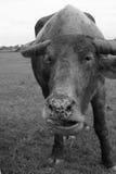 Asiatisk buffel i Thailand Royaltyfria Bilder
