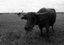Asiatisk buffel i Thailand Royaltyfri Fotografi