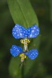Asiatisk Dayflower Arkivfoton