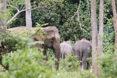 Asiatisk elefant Fotografering för Bildbyråer