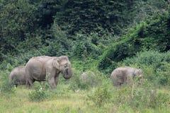 Asiatisk elefant Royaltyfri Bild