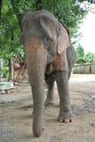asiatisk elefant Arkivbilder