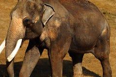 asiatisk elefant Royaltyfri Fotografi