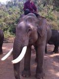 asiatisk elefant Arkivfoto