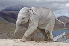 Asiatisk elefant (Elephasmaximusen) Royaltyfria Foton