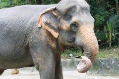 Asiatisk elefant ett mycket enormt djur Royaltyfri Foto