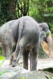 Asiatisk elefant ett mycket enormt djur Fotografering för Bildbyråer
